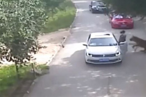 Watch the shocking moment a tiger snatches woman