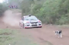 Dog narrowly escapes getting run over by rally car